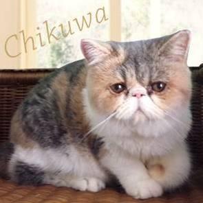 オトナ女子公式より、中原亜紀ペット猫ちくわちゃん(アリスちゃん)